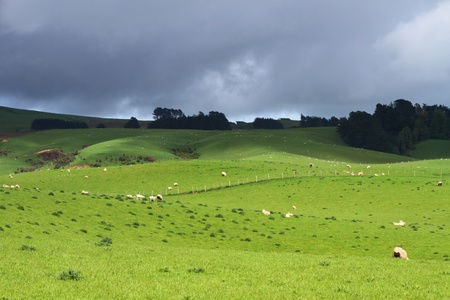 Green pastures with grazing sheep in Southland, New Zealand 版權商用圖片