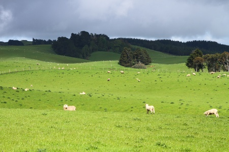 conservation grazing: Green pastures with grazing sheep in Southland, New Zealand Stock Photo