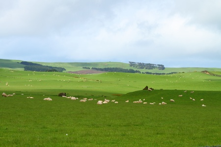 Green pastures with grazing sheep in Southland, New Zealand photo