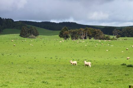 Green pastures with grazing sheep in Southland, New Zealand Stock Photo - 16979903