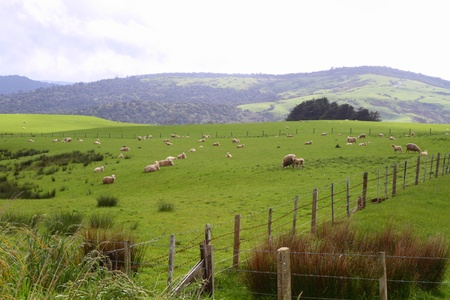 Green pastures with grazing sheep in Southland, New Zealand Stock Photo - 16979896