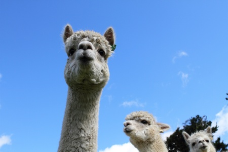 Curious white alpacas on the farm photo