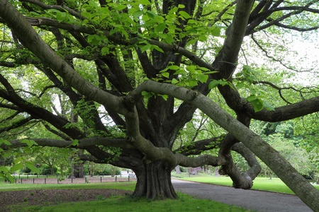 canterbury: Arbre majestueux � Christchurch Botanic Garden, Canterbury, Nouvelle-Z�lande