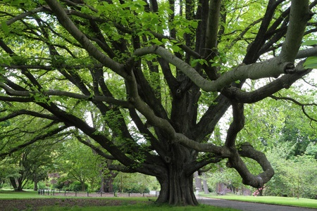 Majestic tree in Christchurch Botanic Garden, Canterbury, New Zealand Stock Photo - 17580131