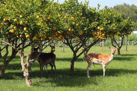 Curious deer grazing on the farm under orange trees in New Zealand photo