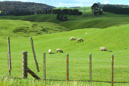 Green meadows with sheep grazing in a beautiful area of Rotorua, New Zealand photo