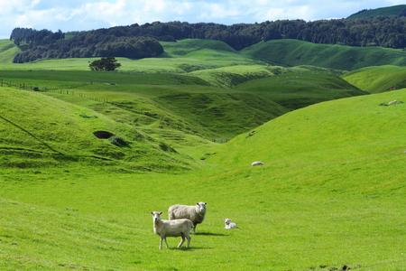 Green meadows with sheep grazing in a beautiful area of Rotorua, New Zealand Banco de Imagens