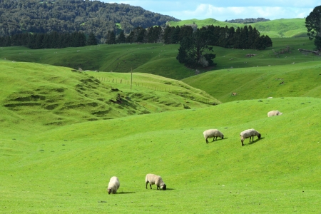 Green meadows with sheep grazing in a beautiful area of Rotorua, New Zealand Stock Photo