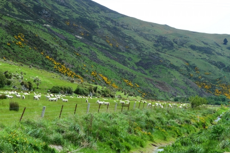 conservation grazing: Beautiful mountain vistas and grazing sheep in South Island, New Zealand