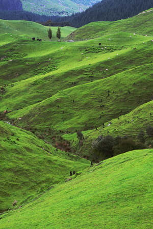 Green beautiful meadows with rolling hills in Waitomo, New Zealand
