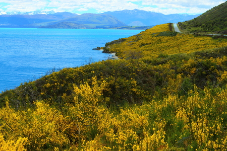 Yellow wildflowers blooming on a beautiful lake shore, South Island, New Zealand photo