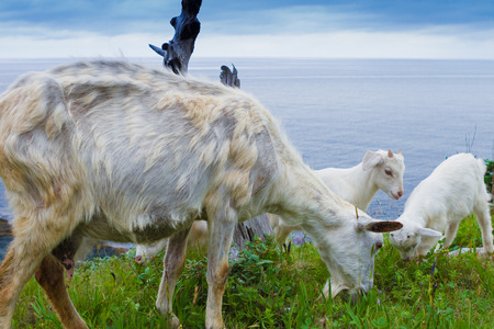 Mother goat with young lambs grazing in the wilderness photo