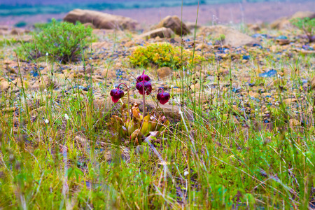 bogs: The pitcher plant is a unique plant found on bogs and marshes throughout Newfoundland and Labrador. It is designated as the official flower of the province.
