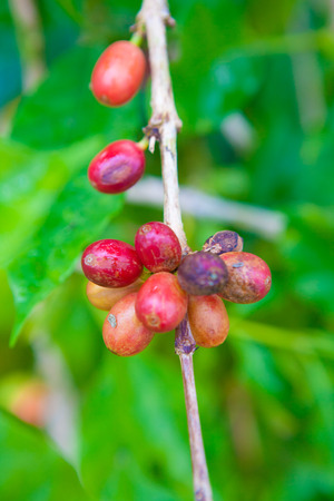 coffee tree: Coffee cherries growing on the coffee tree