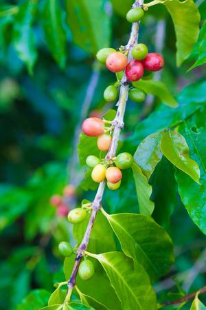 arbol de cafe: Las cerezas de caf� crecen en el �rbol de caf� Foto de archivo