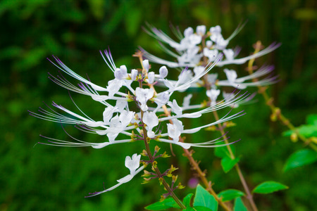 whiskers: Cat�s whiskers plant blooming