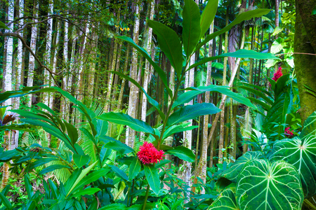 tahitian: Tahitian red ginger plant blooming in a beautiful tropical forest in Hawaii