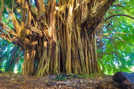 Rbol de higuera gigante en Hawaii Foto de archivo - 40133511