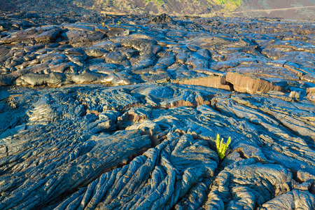 cooled: New fern growing through the molten cooled lava in Hawaii Volcanoes National Park, Big Island, Hawaii