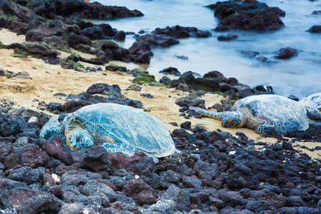 green sea: Green sea turtles resting on a volcanic black sand beach in Hawaii
