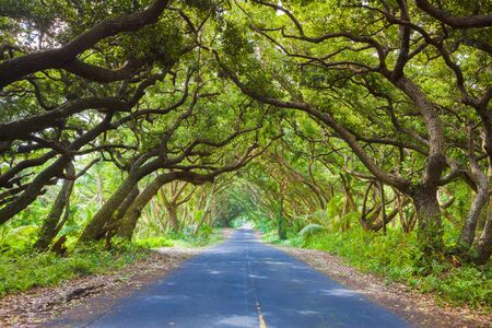 huge tree: Road covered by tree canopies on Big Island,  Hawaii Stock Photo
