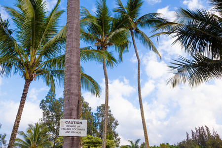 Tall palm trees and beware of falling coconuts sign