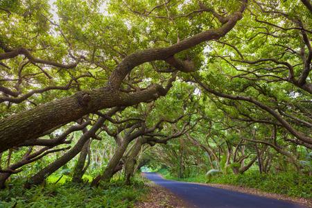 big: Camino cubierto por copas de los árboles en la isla grande, Hawaii Foto de archivo