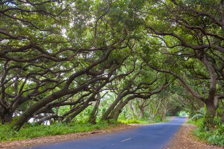 canopies: Road covered by tree canopies on Big Island,  Hawaii Stock Photo