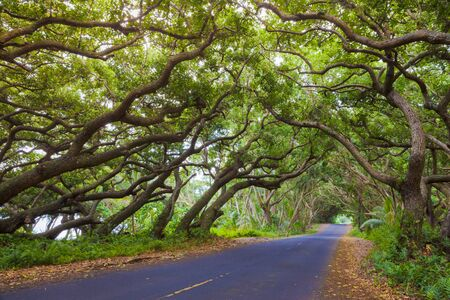 palm lined: Road covered by tree canopies on Big Island,  Hawaii Stock Photo
