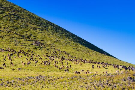 mountain goats: Herd of mountain goats grazing on the pasture