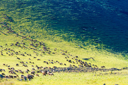 Herd of mountain goats grazing on the pasture