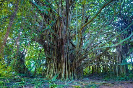 huge tree: Giant banyan tree in Hawaii
