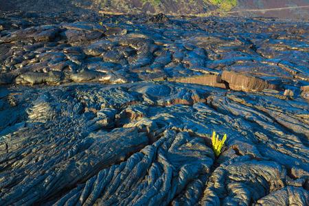 hawaii sunset: New fern growing through the molten cooled lava in Hawaii Volcanoes National Park, Big Island, Hawaii