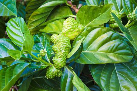 big island: Noni plant growing on a farm on Big Island, Hawaii