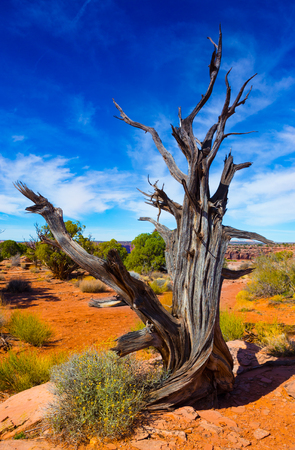 canyonlands: Dry tree trunk in Canyonlands National Park in Utah