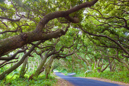 fern  large fern: Road covered by tree canopies on Big Island,  Hawaii Stock Photo