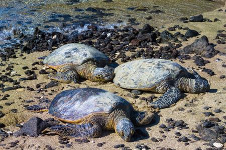 Three rare green sea turtles resting on Hawaiian beach 版權商用圖片
