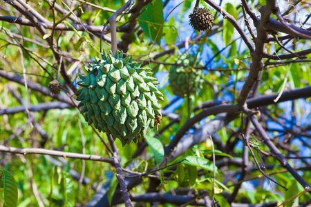 big island: Exotic rollinia fruit growing on the farm on Big Island, Hawaii