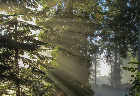 Rays of light shie throught branches of evergreen trees