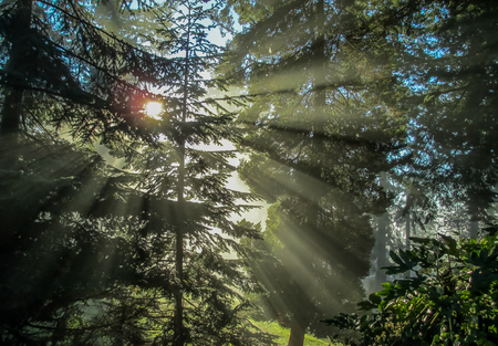 Rays of light shine through branches of evergreen trees.