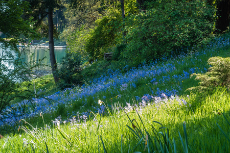 pacific northwest: Blue wildflowers bloom on a gentle slope in the Pacific Northwest.
