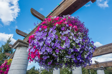 hanging basket: Pink and purple petunias burst with vibrant color in a hanging basket.