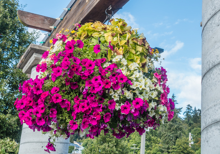 hanging basket: Pink and white petunias burst with vibrant color in a hanging basket.