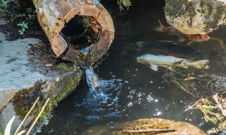 Water flows through a hollow log into a pond with Koi fish.