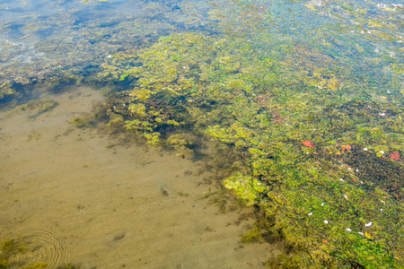 Seaweed grows from a sand bottom on Lake Washington in Reonto, Washington.
