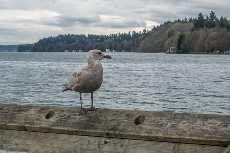puget: A lone seagull sits on a railing on a pier in Dash Point, Washington.