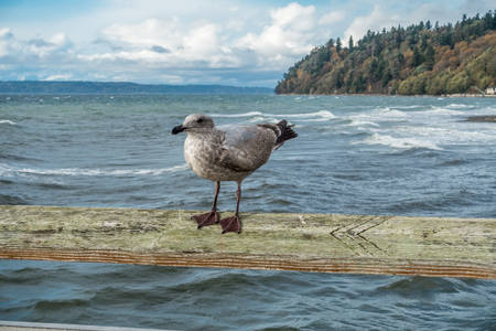 A seafull roosts on a pier railing on a windy day in Des Moinse, Washington.