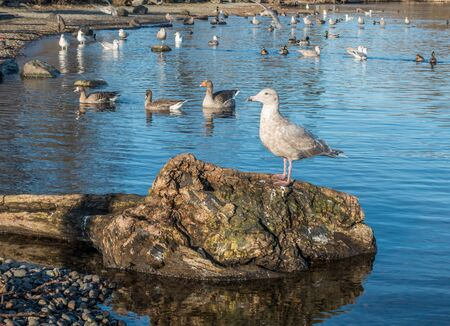 ner: A seagull roosts on top of a log on Lake Washington ner Seattle.  Other assorted birds swim behind.