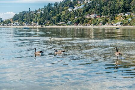 puget: Canda Geese sit near the water of the Puget Sound. Three Tree Point in Burien, Washington is in the distance.