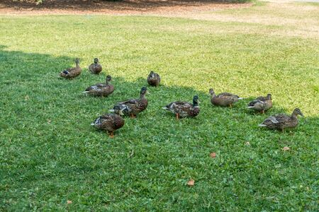 defiance: A group of ducks feeds at Point Defiance Park in Tacoma, Washington. Stock Photo